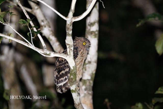 image 1896 of Buffy Fish Owl