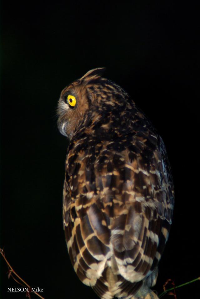 image 5193 of Buffy Fish Owl