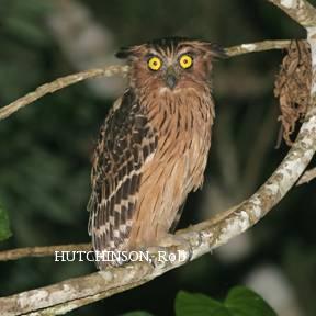 image 2001 of Buffy Fish Owl
