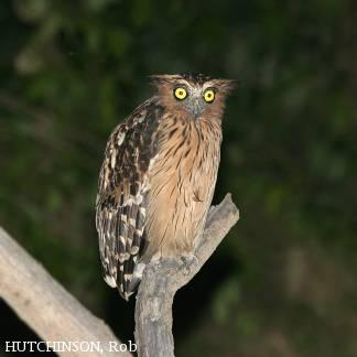 image 4616 of Buffy Fish Owl
