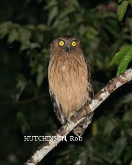 image 1998 of Buffy Fish Owl