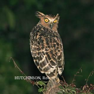 image 2006 of Buffy Fish Owl