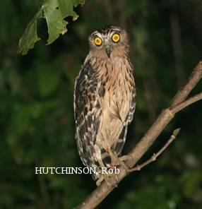image 2003 of Buffy Fish Owl