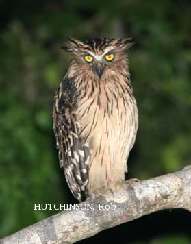 image 1999 of Buffy Fish Owl