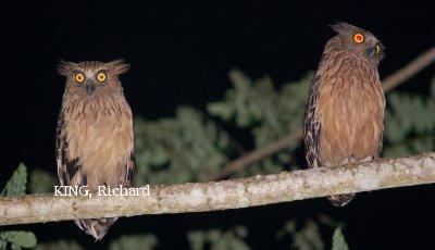 image 2096 of Buffy Fish Owl