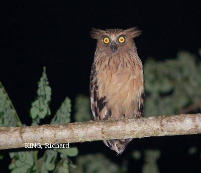 image 2095 of Buffy Fish Owl