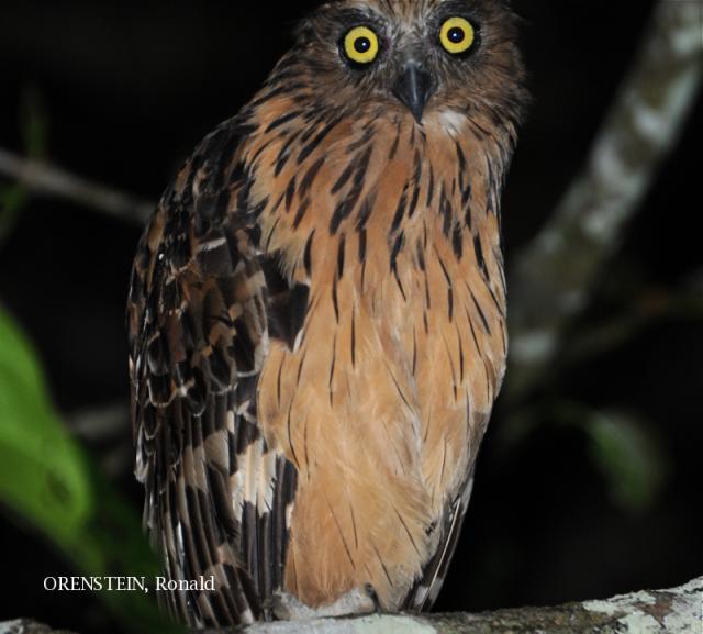 image 5204 of Buffy Fish Owl