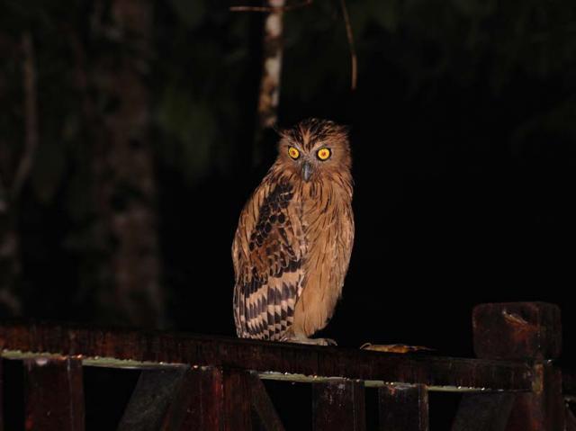 image 5694 of Buffy Fish Owl
