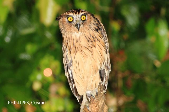 image 7632 of Buffy Fish Owl