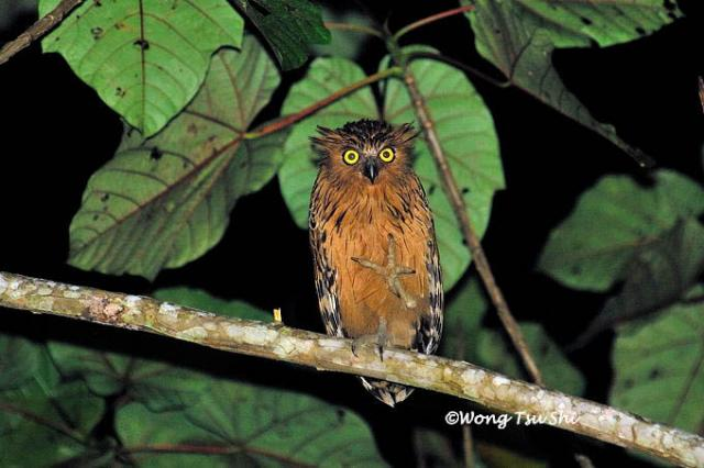 image 443 of Buffy Fish Owl