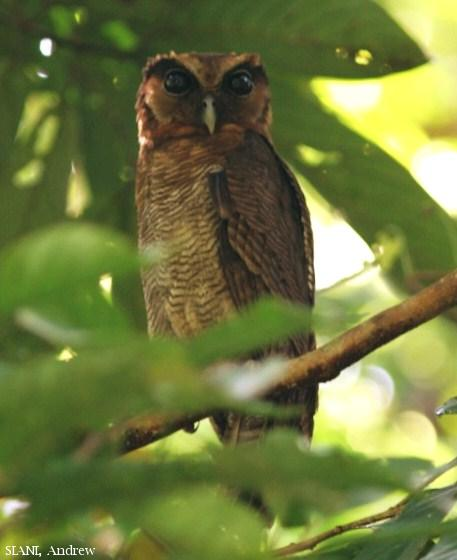 image 3102 of Brown Wood Owl