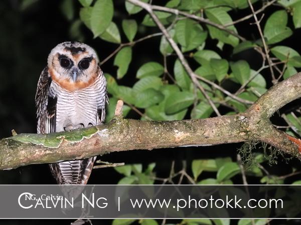 image 5058 of Brown Wood Owl