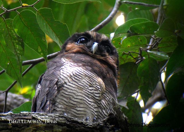 image 5779 of Brown Wood Owl