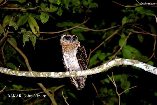 image 5878 of Brown Wood Owl