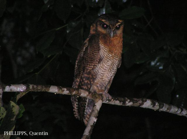 image 1595 of Brown Wood Owl