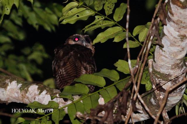 image 1897 of Brown Wood Owl