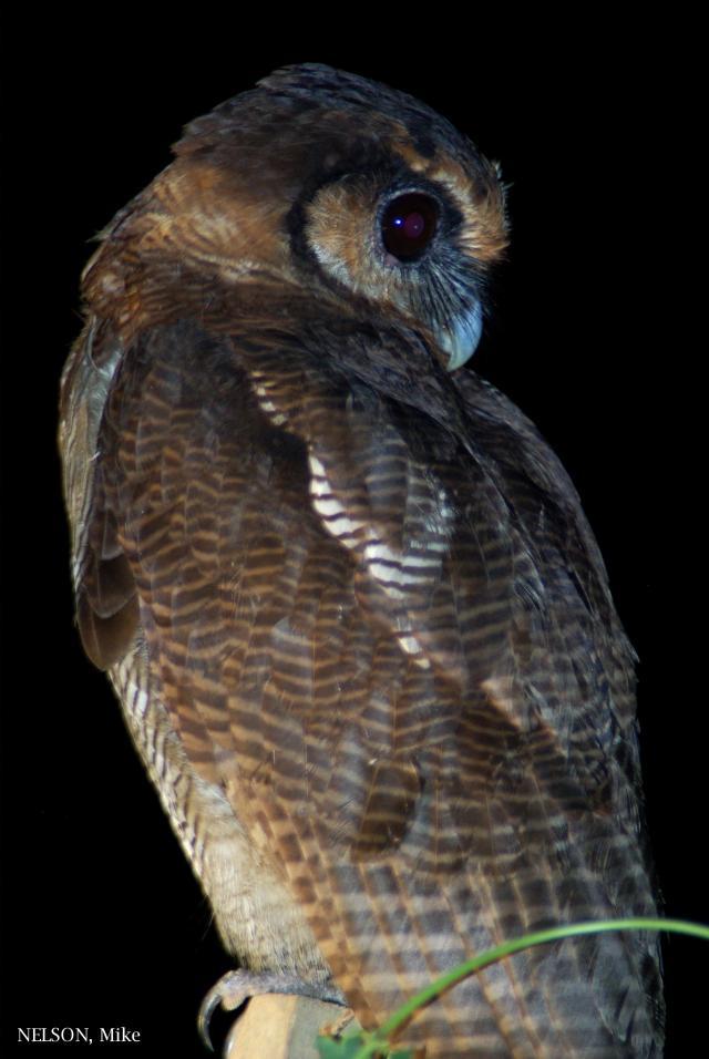 image 5198 of Brown Wood Owl