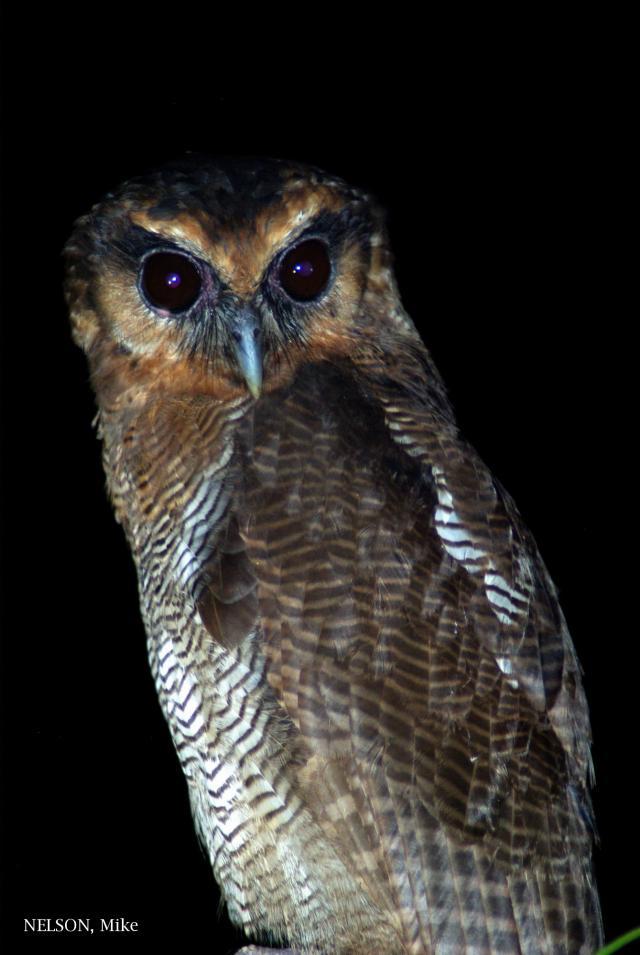 image 5195 of Brown Wood Owl
