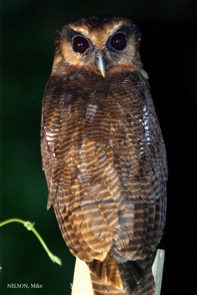 image 5199 of Brown Wood Owl