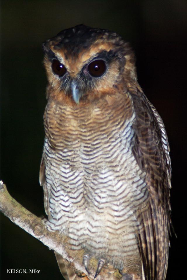 image 5200 of Brown Wood Owl