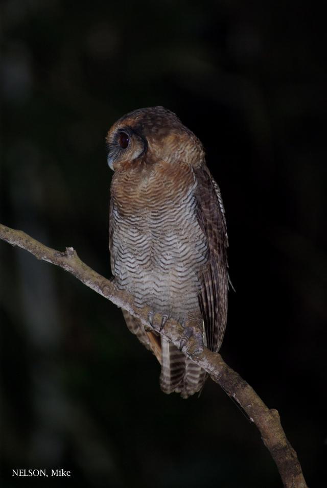 image 5201 of Brown Wood Owl