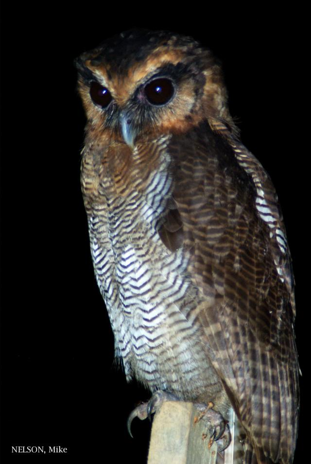image 5197 of Brown Wood Owl