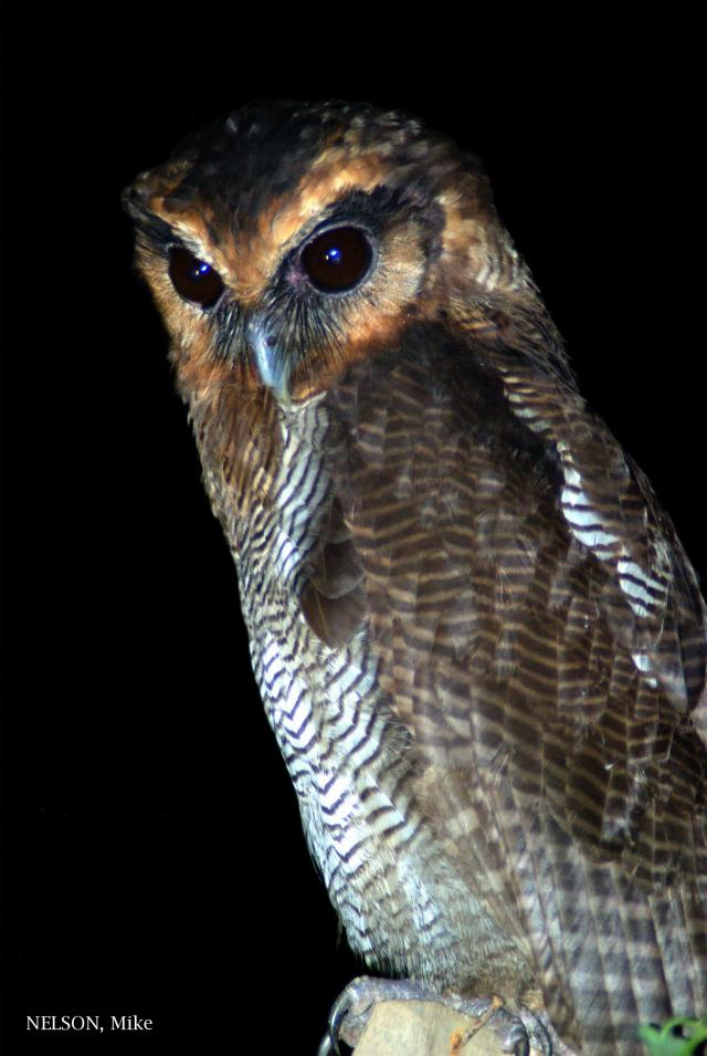 image 5196 of Brown Wood Owl