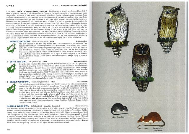 image 2708 of Brown Wood Owl