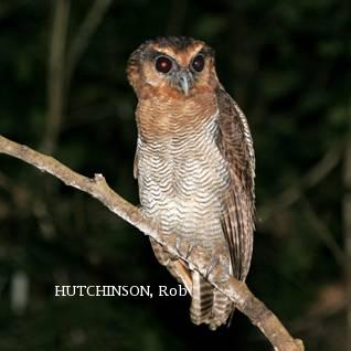 image 2009 of Brown Wood Owl