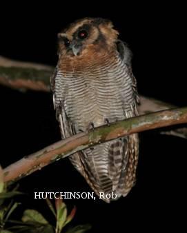 image 2008 of Brown Wood Owl