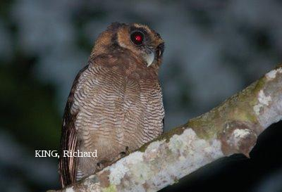 image 2097 of Brown Wood Owl
