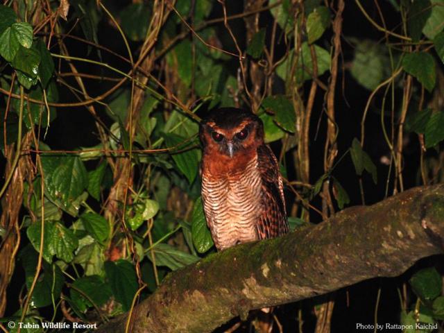 image 6010 of Brown Wood Owl