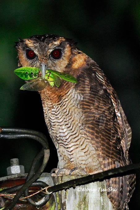 image 386 of Brown Wood Owl