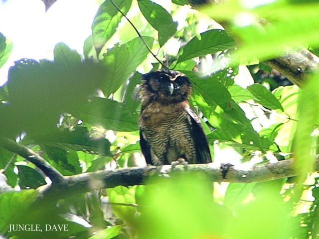 image 7967 of Brown Wood Owl