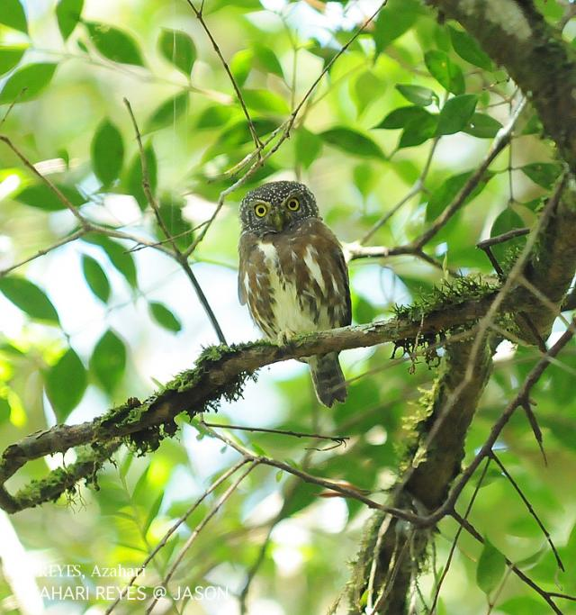 image 3373 of Collared Owlet