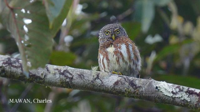 image 6552 of Collared Owlet