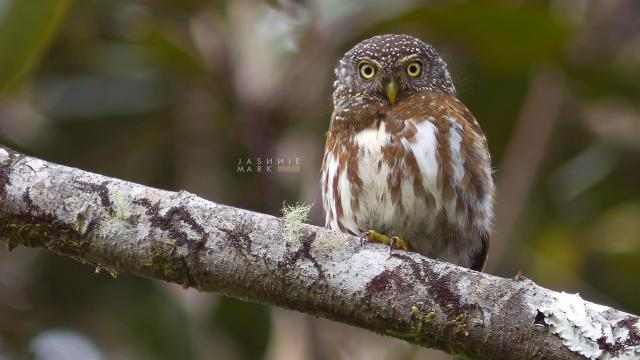 image 6551 of Collared Owlet