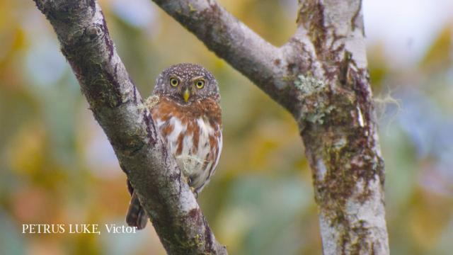 image 6553 of Collared Owlet
