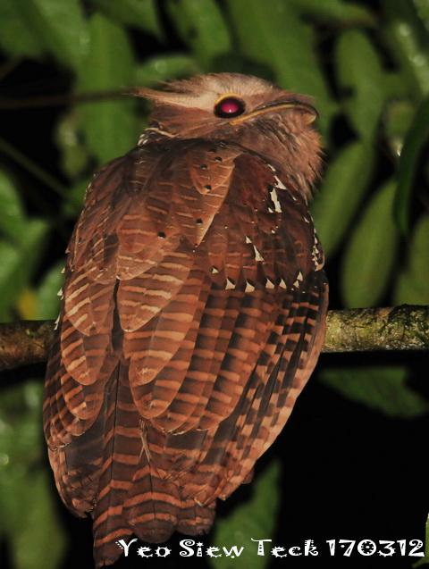 image 6564 of Large Frogmouth