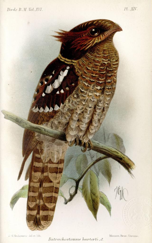 image 3943 of Dulit Frogmouth