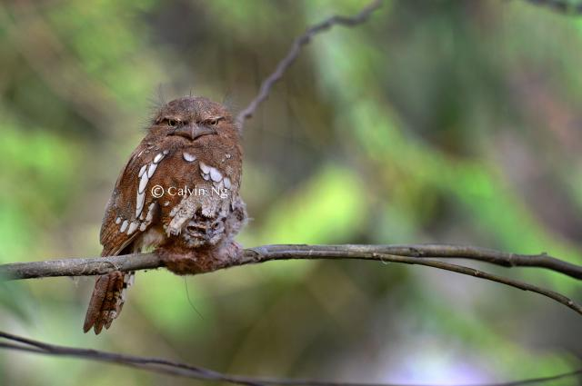 image 8289 of Bornean Frogmouth