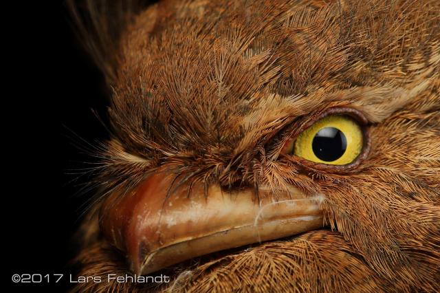 image 8202 of Bornean Frogmouth