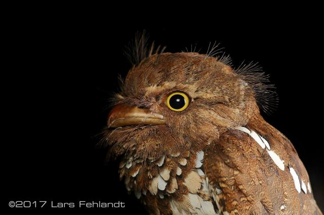 image 8204 of Bornean Frogmouth