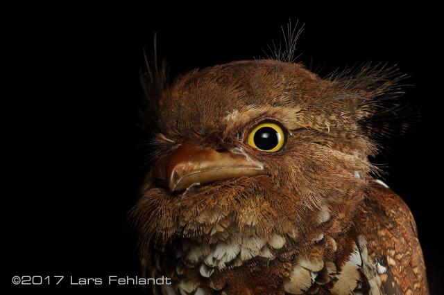 image 8203 of Bornean Frogmouth