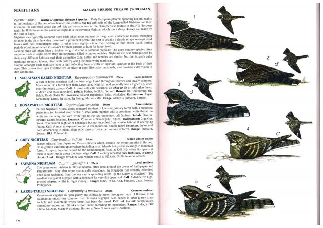 image 2725 of Malaysian Eared Nightjar