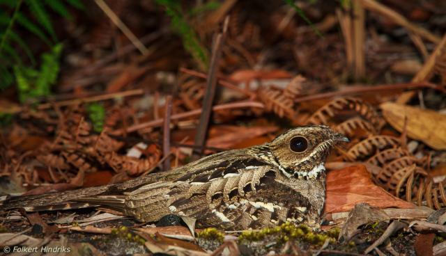image 6803 of Large-tailed Nightjar