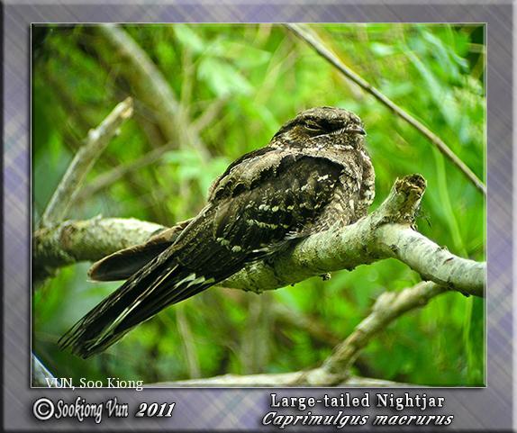 image 6745 of Large-tailed Nightjar