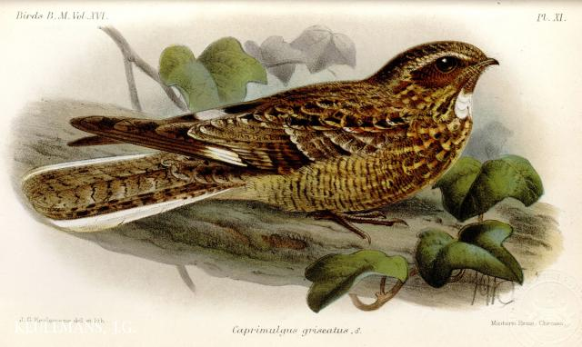 image 3944 of Savanna Nightjar