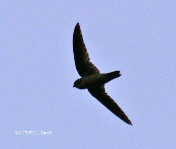 image 3955 of Waterfall Swift