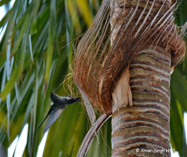 image 7686 of Glossy Swiftlet